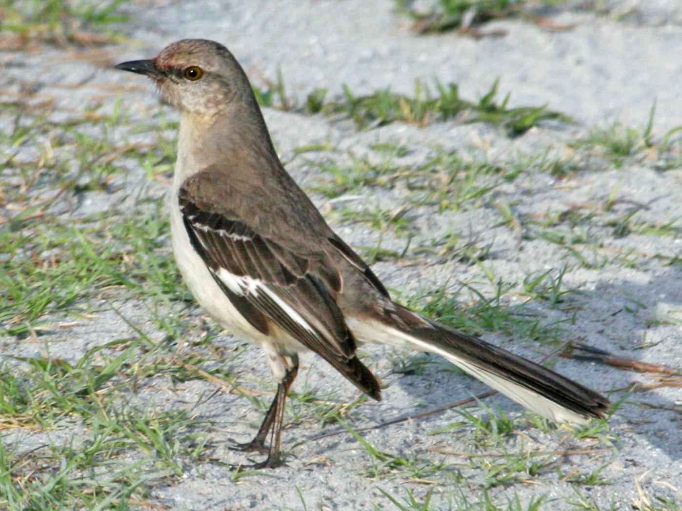 file northern mockingbird mimus polyglottos rwd