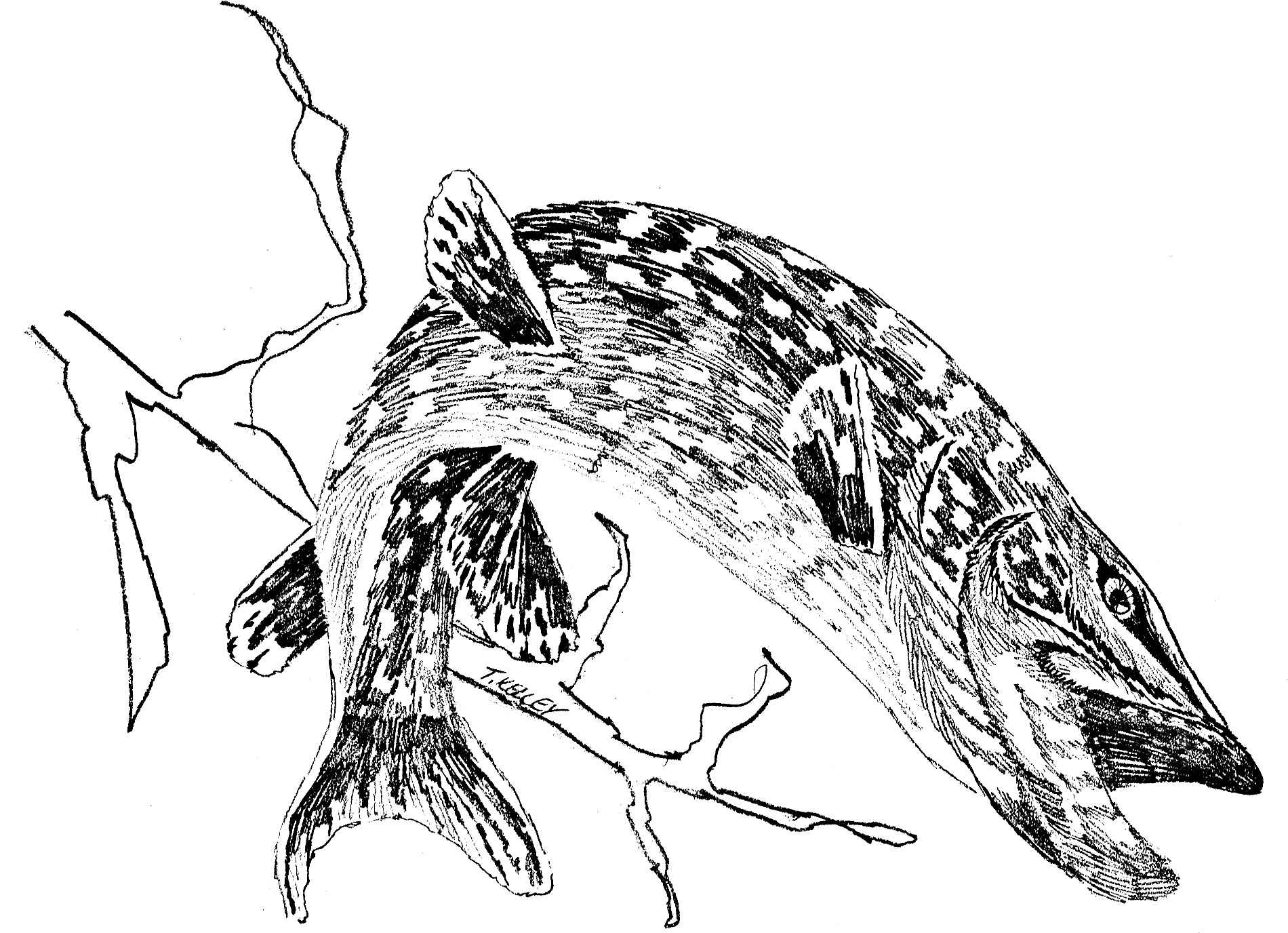 Line Art Of Fish : File northern pike fish esox lucius linnaeus line art