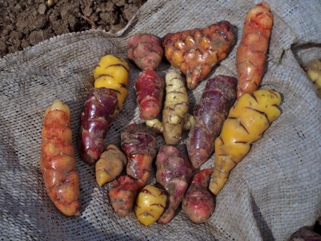 Oxalis tuberosa diversity.jpg