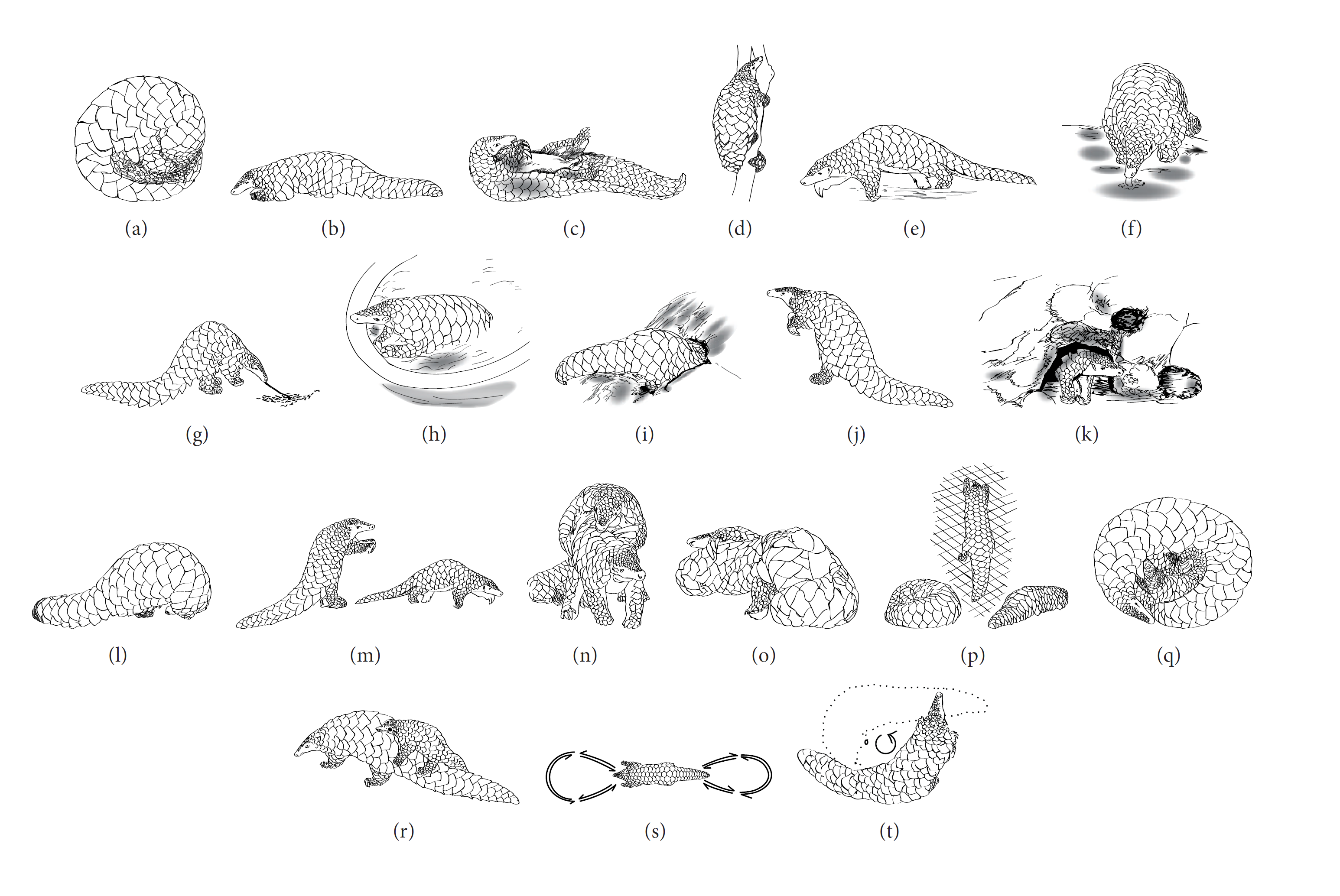 Pangolin Behaviour Manis Crassicaudata