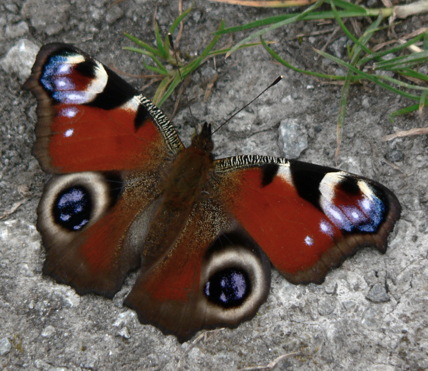 http://upload.wikimedia.org/wikipedia/commons/6/67/Peacock_Butterfly.jpg