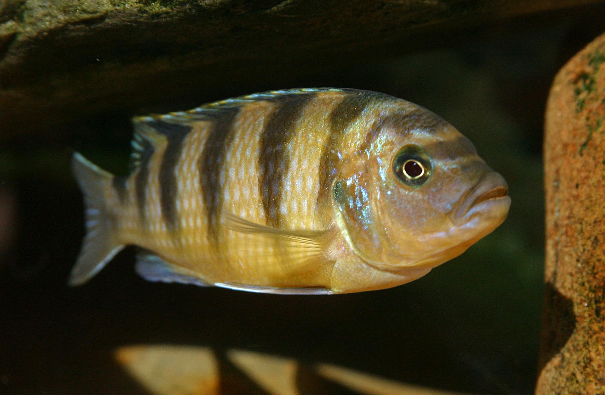 Chanda Ranga Pseudotropheus Lombardoi