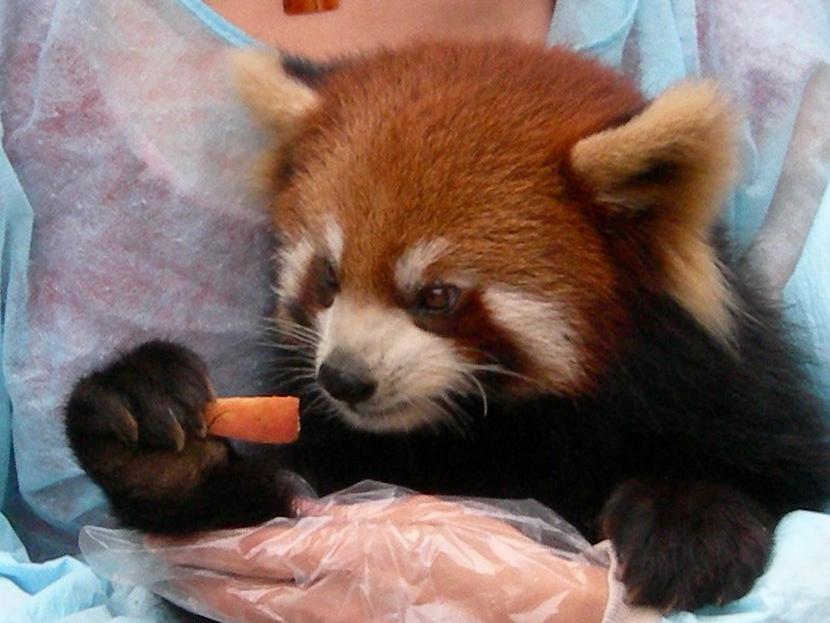 http://upload.wikimedia.org/wikipedia/commons/6/67/Red_Panda_staring.jpg