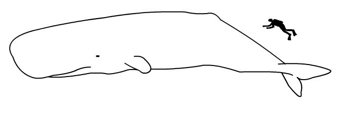Perbandingan ukuran manusia dan paus