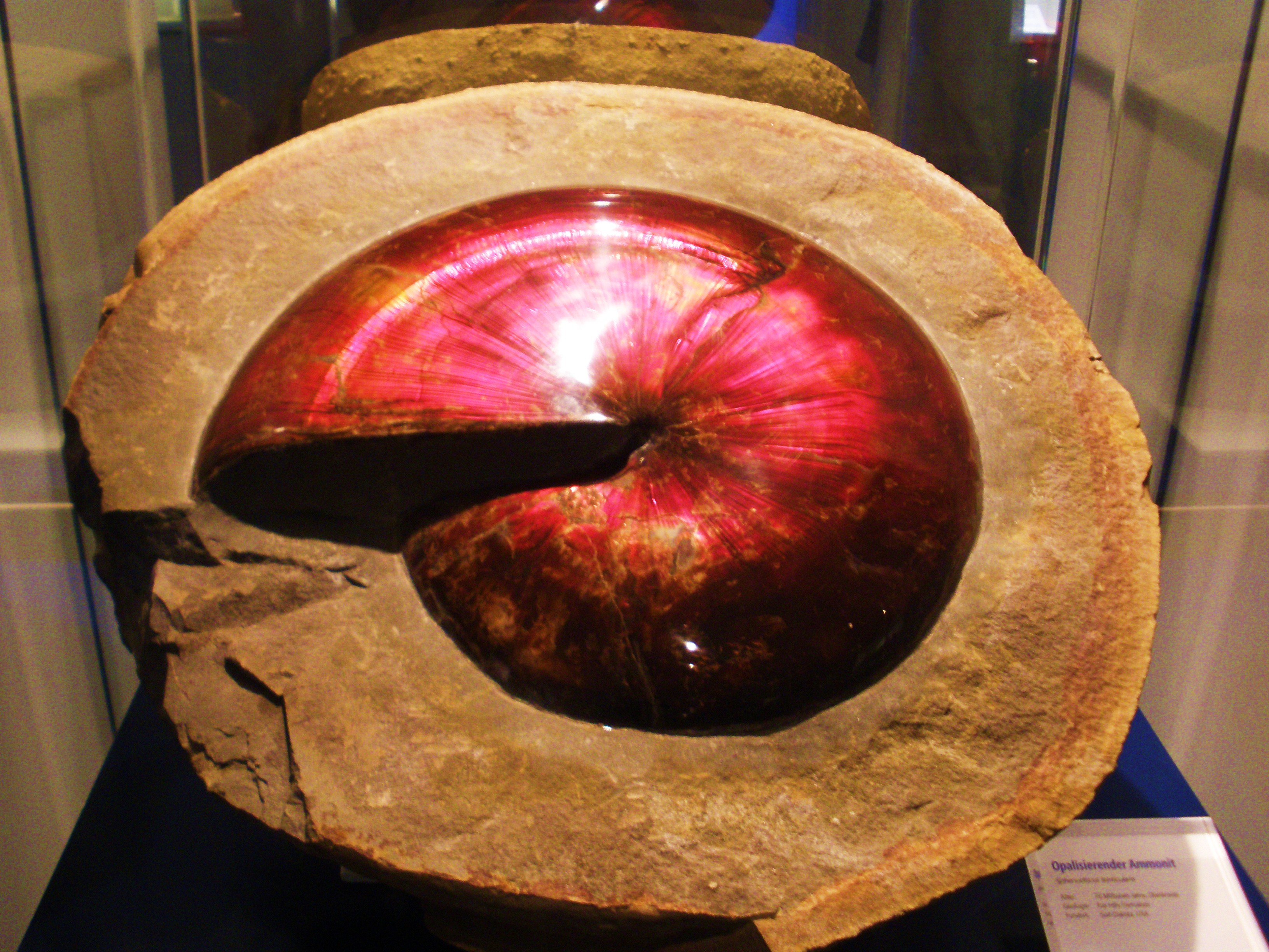 https://upload.wikimedia.org/wikipedia/commons/6/67/Sphenodiscus_-_opalized.jpg