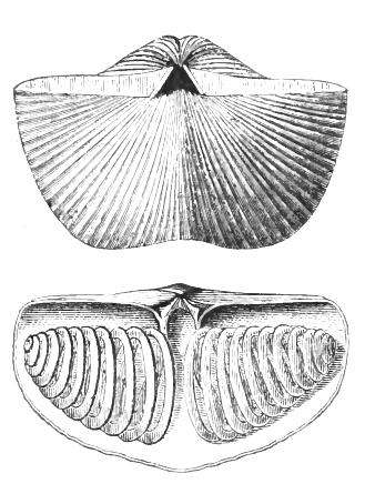 Spirifer striatus