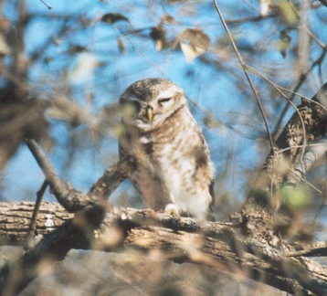 Ficheiro:Spotted Owlet.jpg