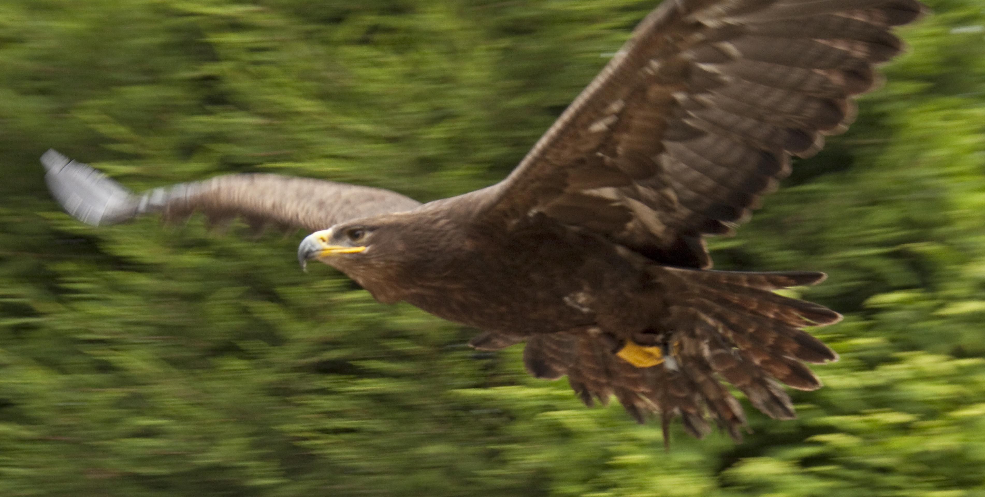 Wikipedia Steppe Eagle File:steppe Eagle 2