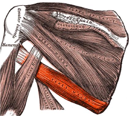 Musculus teres major – Wikipedia