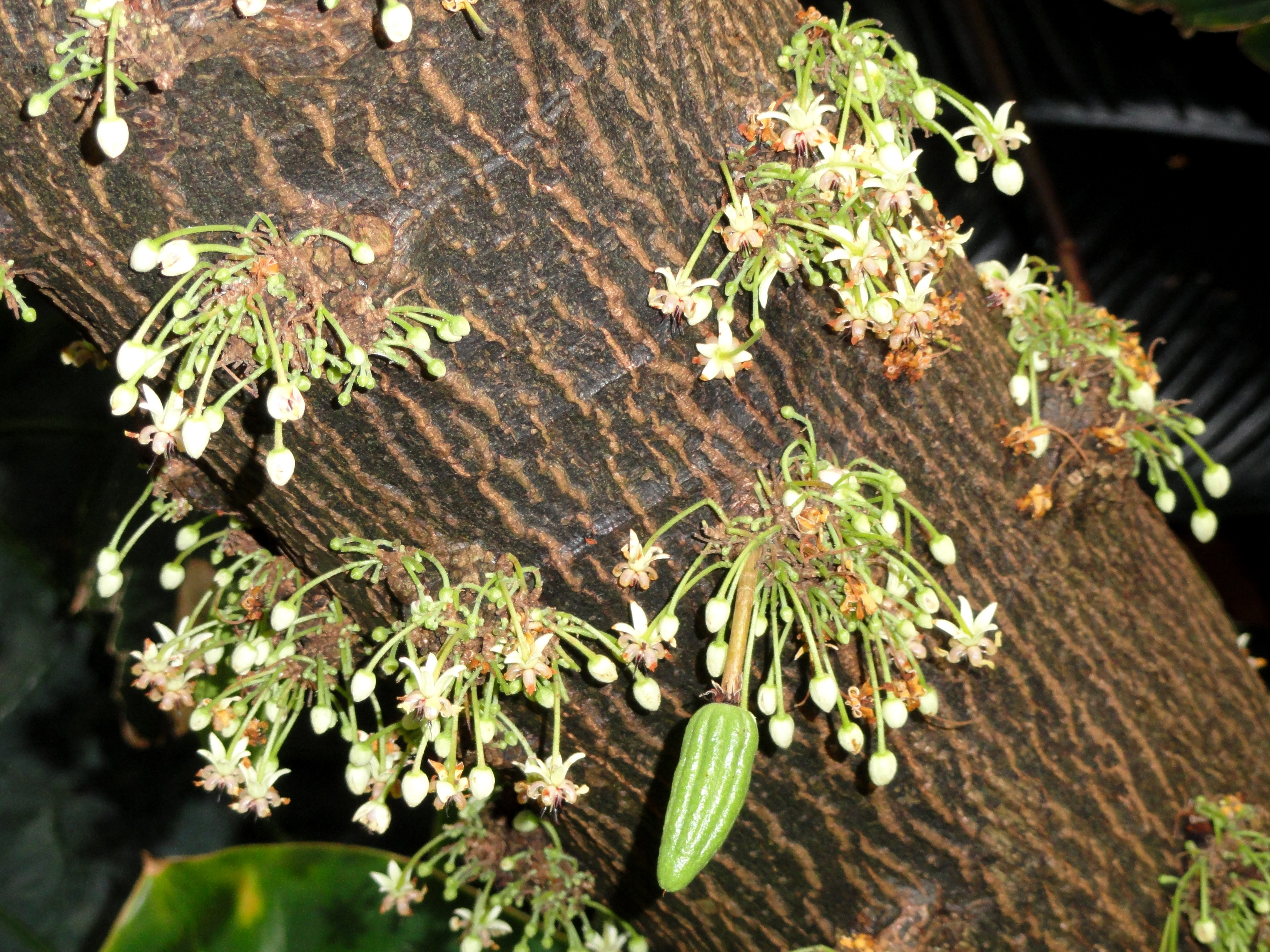 File:Theobroma cacao - Denver Botanic Gardens - DSC00898.JPG ...