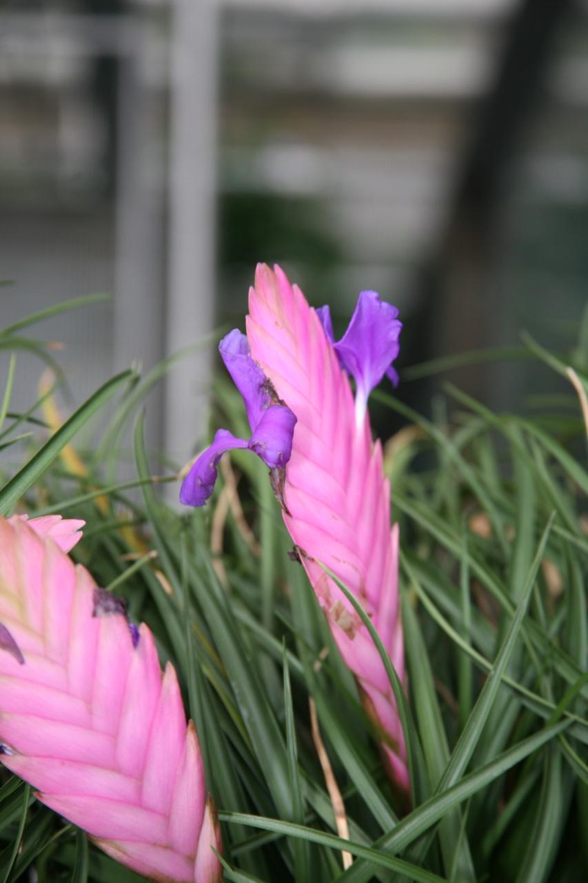 Tillandsia Cyanea Linden Ex K Koch: File:Tillandsia Cyanea 2.jpg