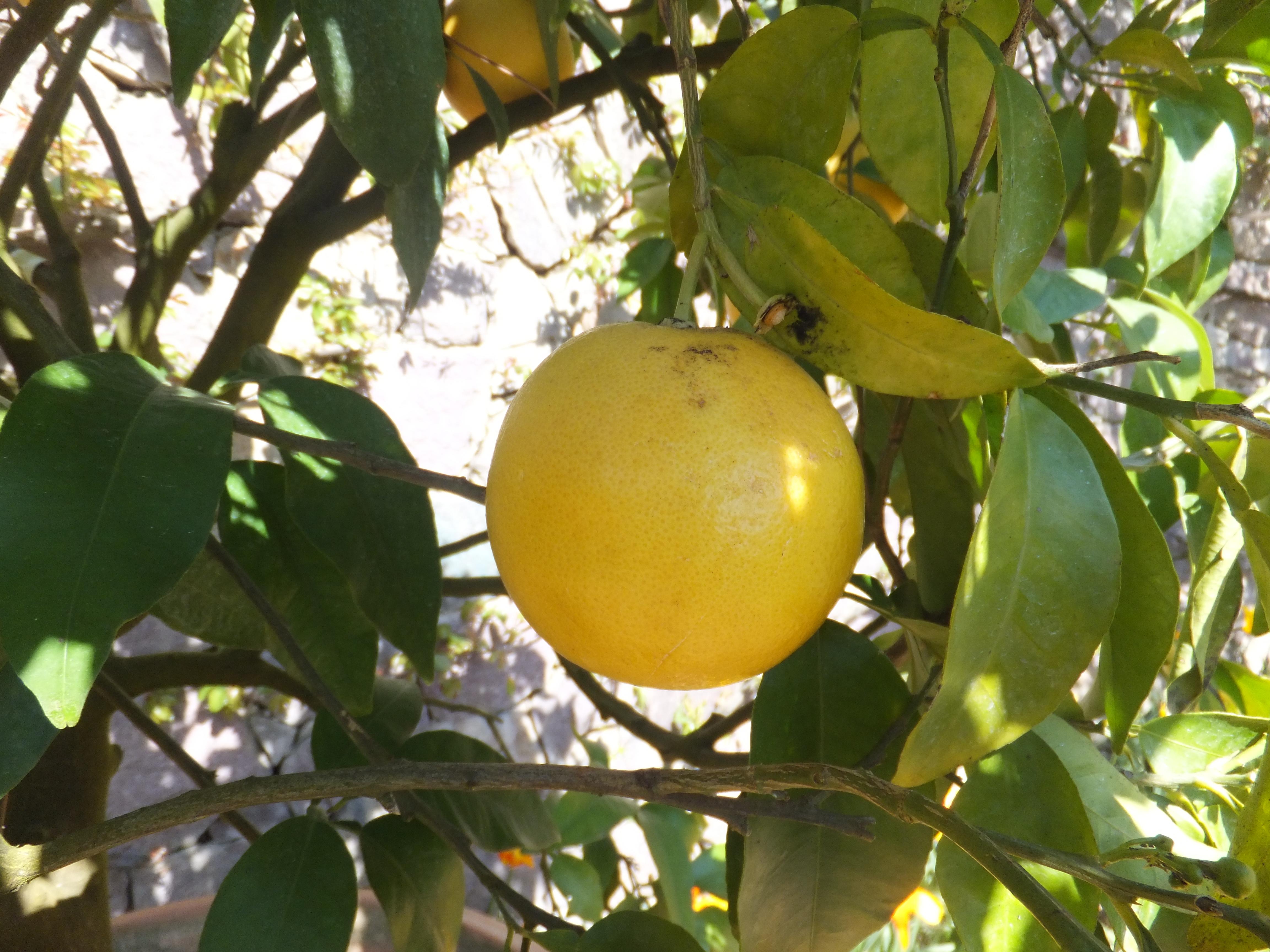 File:Trauttmansdorff Gardens   Citrus X Paradisi 01.JPG
