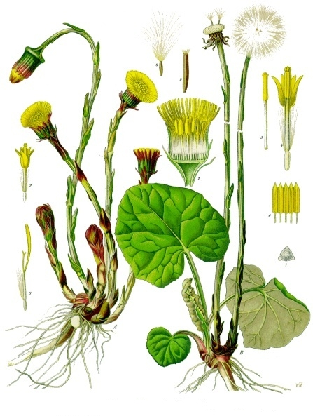Fil:Tussilago farfara - Köhler–s Medizinal-Pflanzen-142.jpg