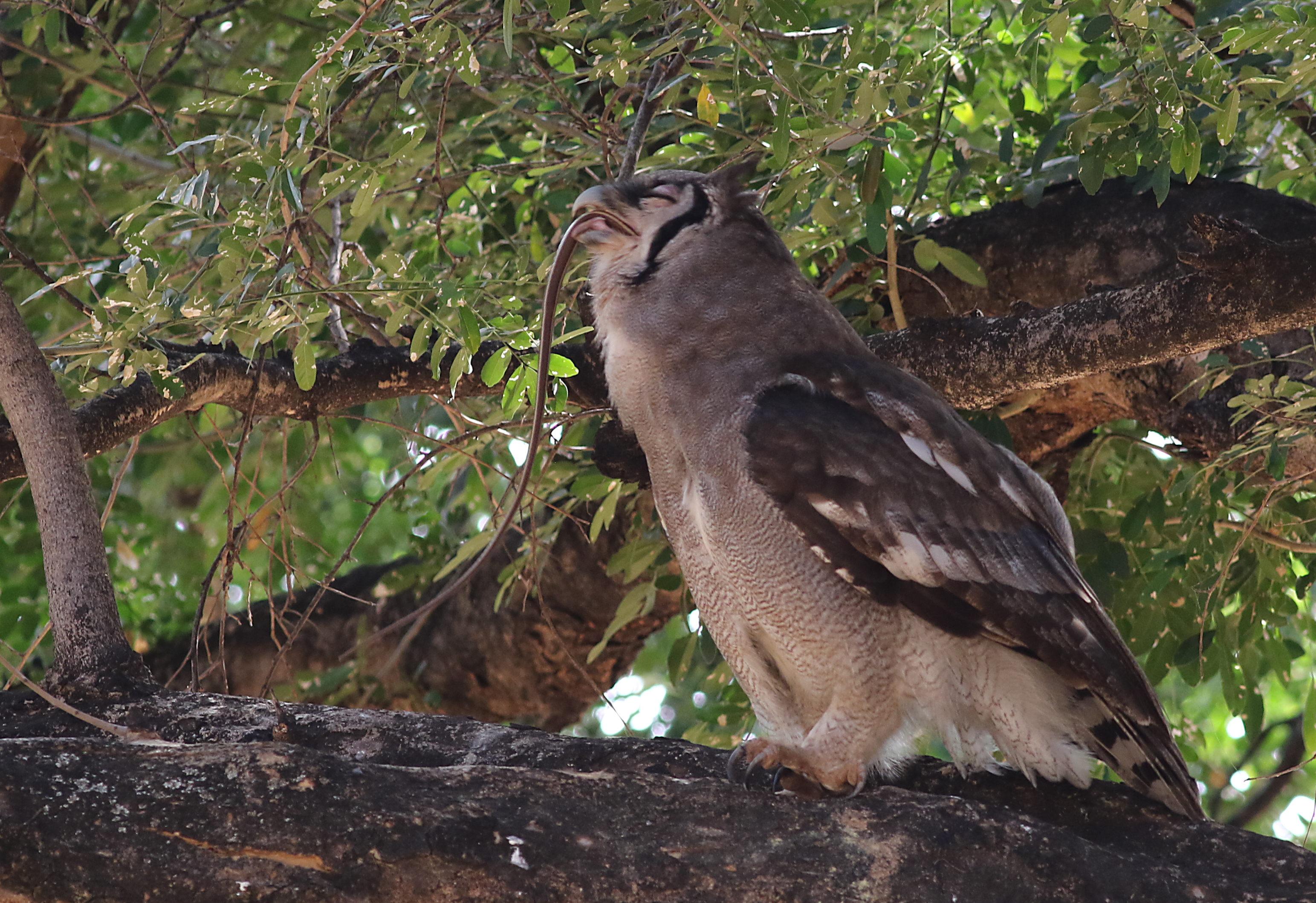 File Verreaux S Eagle Owl Or Giant Eagle Owl Bubo
