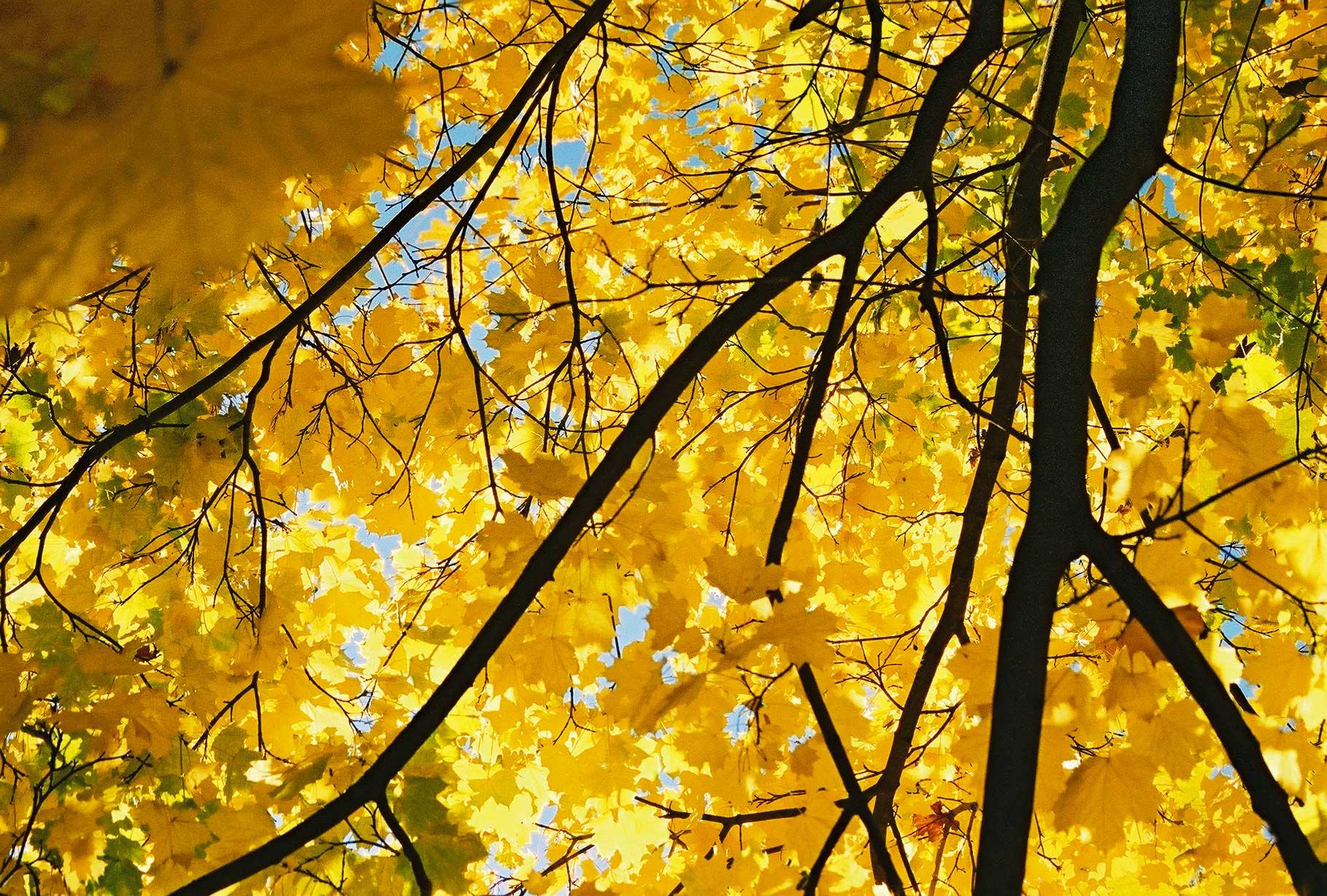 File:Yellow-maple.jpg ...