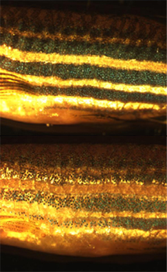 English: Lateral view of zebrafish body illust...
