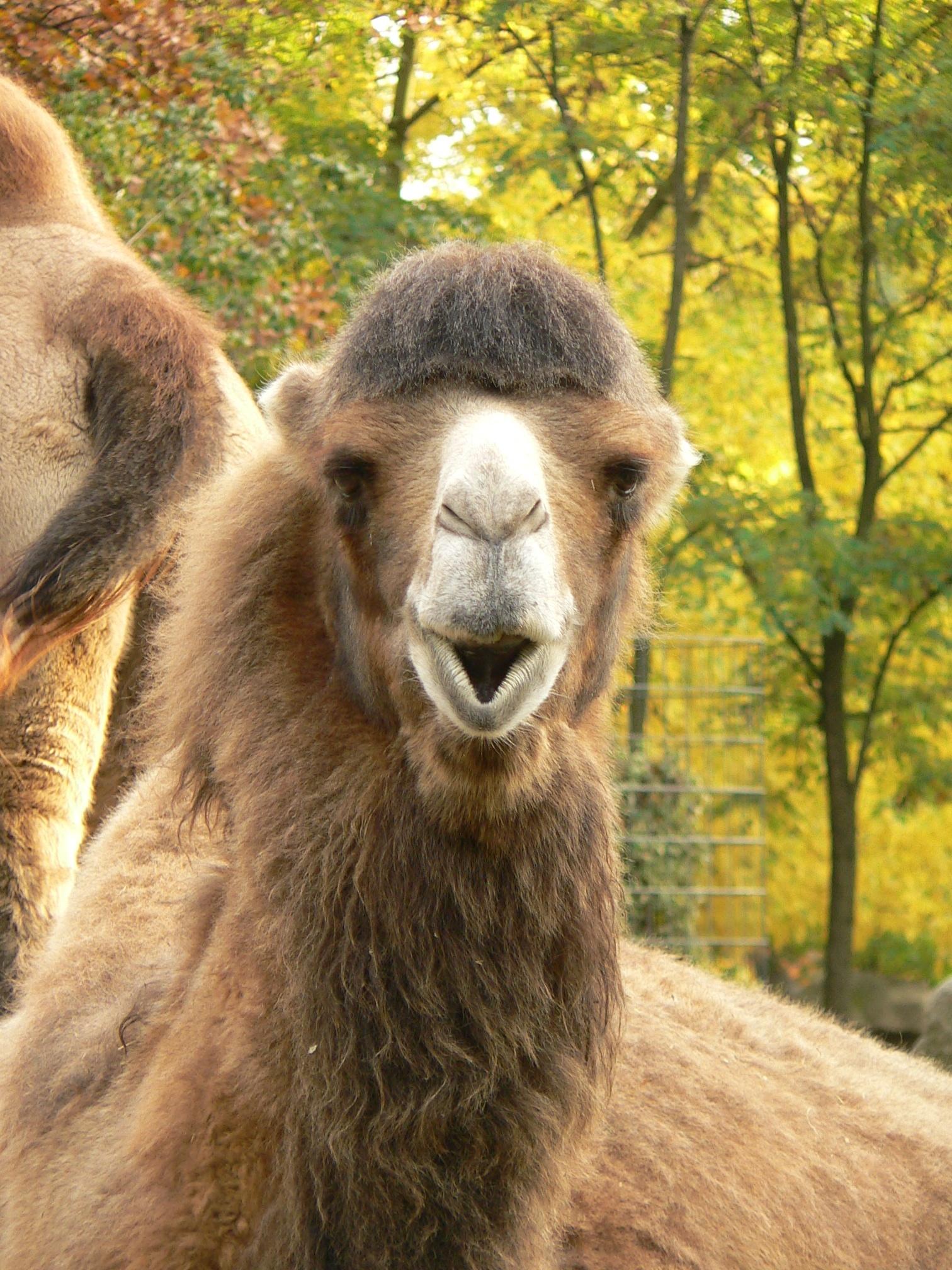 File:Zoo Berlin Dromedar.jpg - Wikimedia Commons