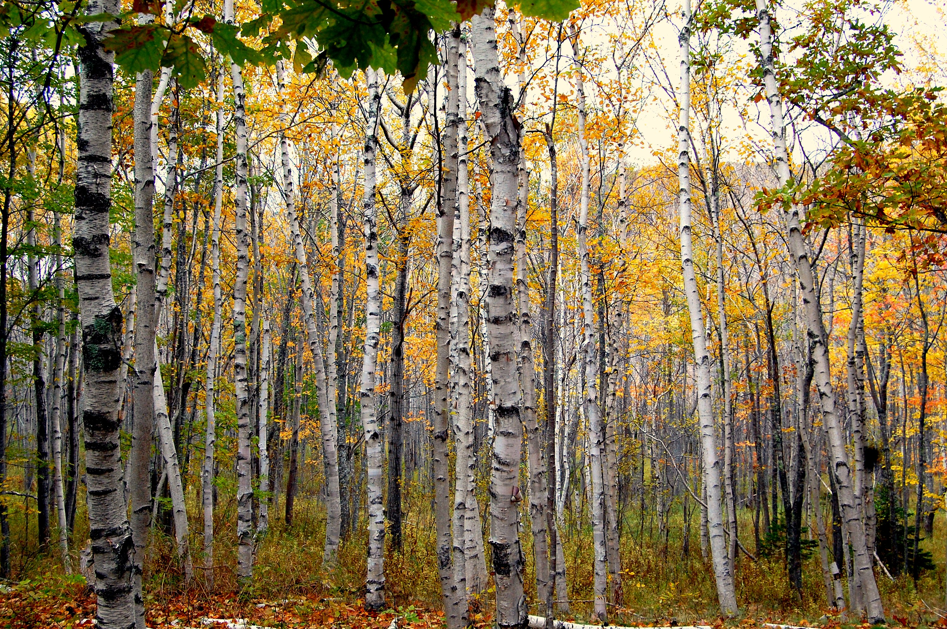 Birch Tree: Pictures, Images, Photos, Facts on
