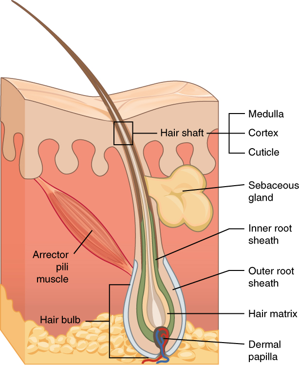 Image result for hair diagram