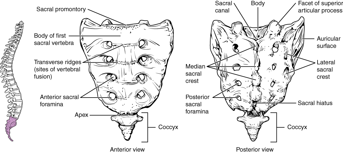 File720 Sacrum And Coccyxg Wikimedia Commons