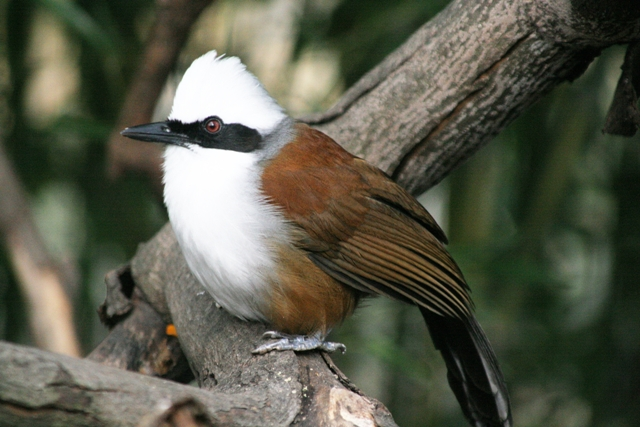 White-crested Thrush