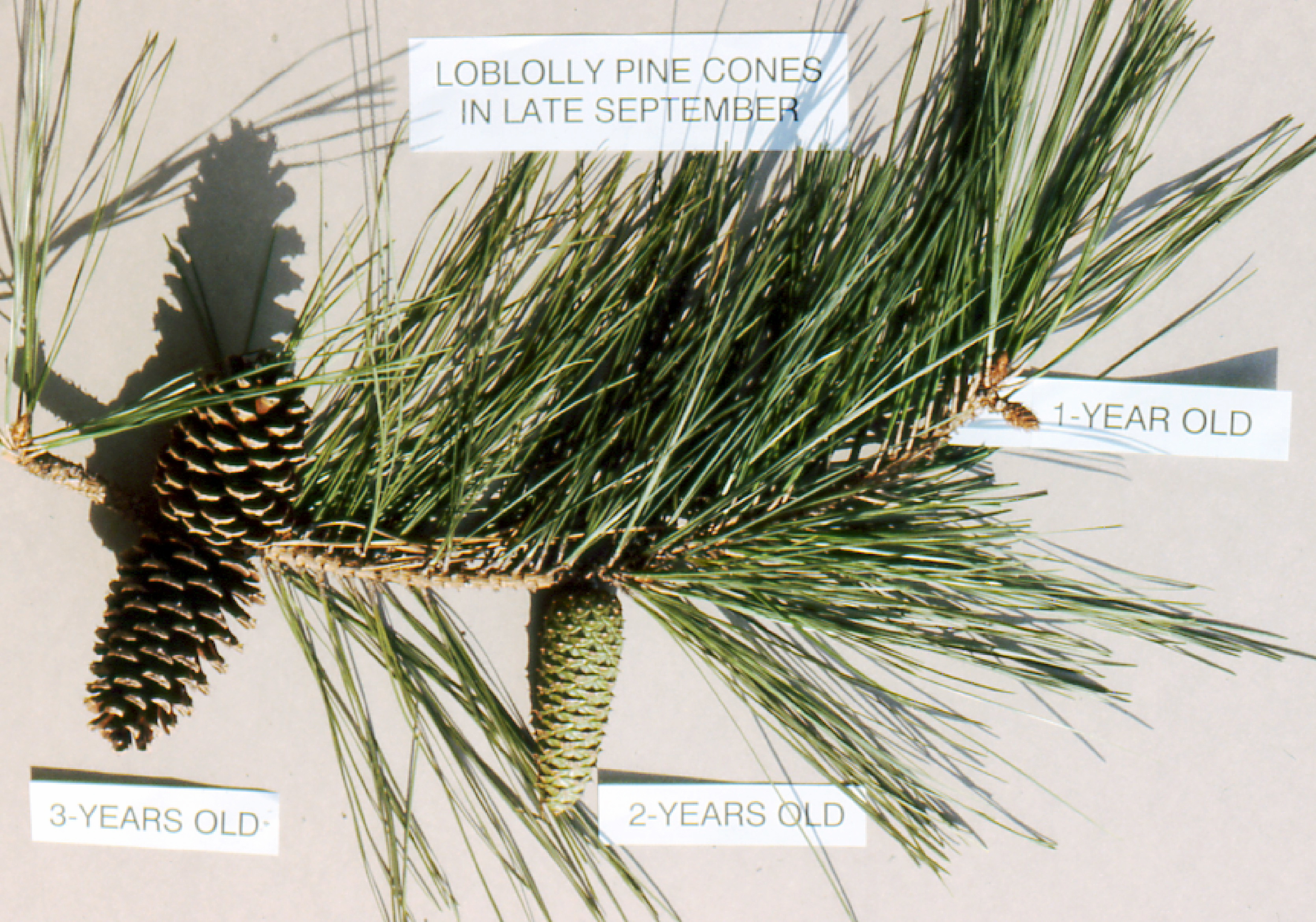 File:Ages of pine cones.jpg - Wikipedia, the free encyclopedia