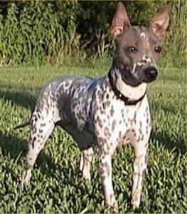 Amerikaanse naakthond - Dog Scanner