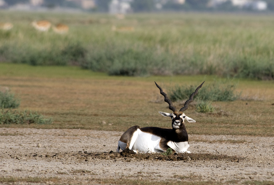Black Buck Antilope cervicapra at Tal Chhapar Wildlife Sanctuary