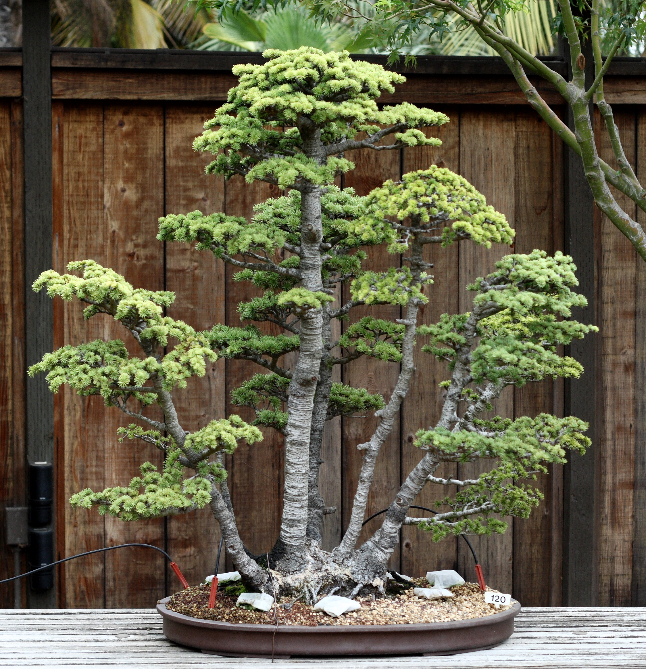 bonsai 120 of the golden state bonsai federation collection north in