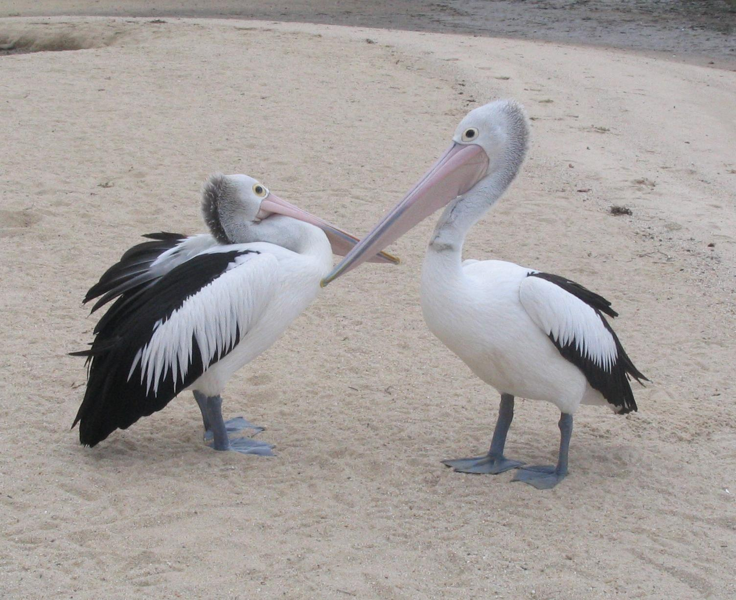 Image Result For Pelicans