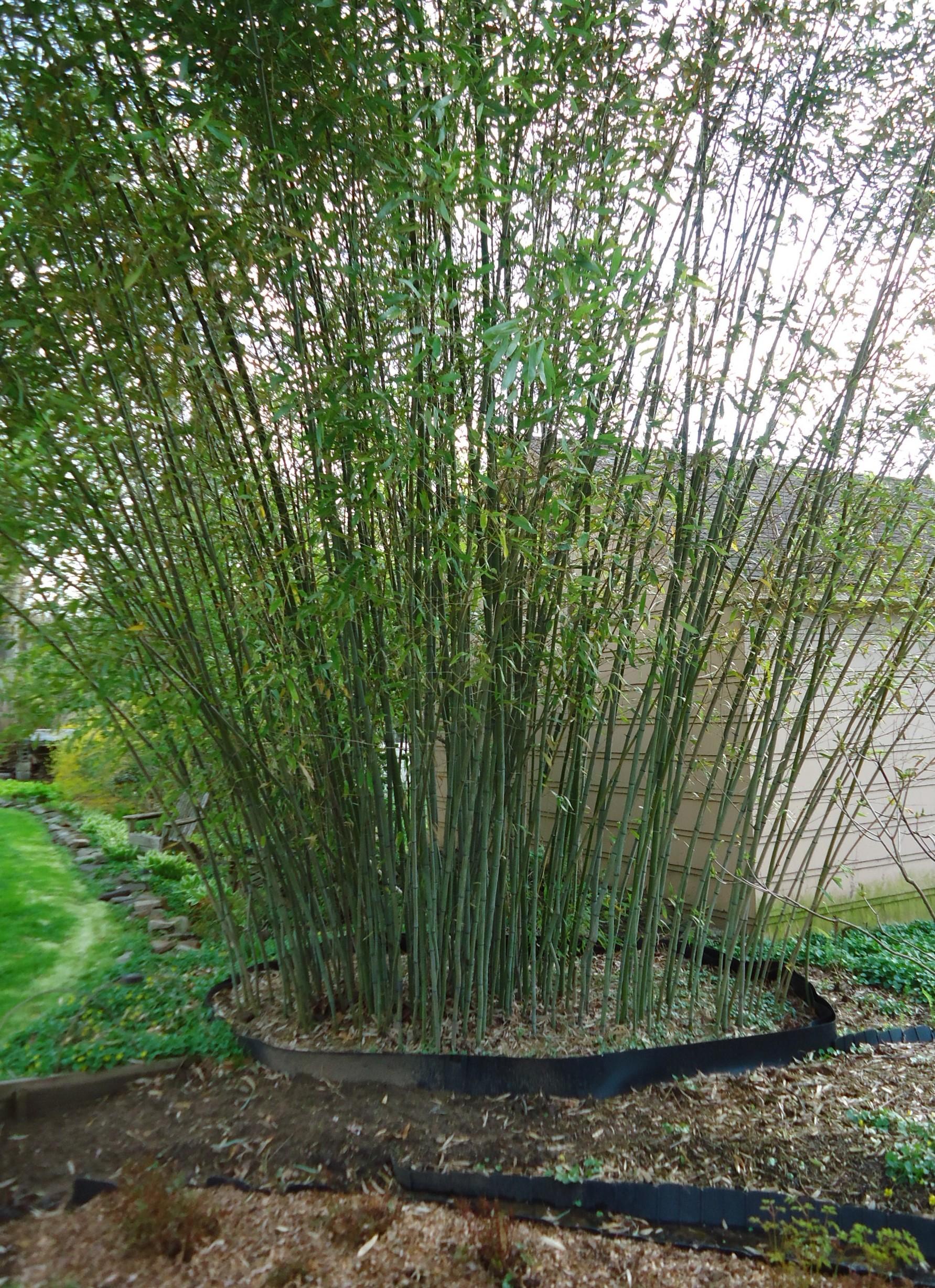 Nj Bamboo Landscaping: File:Bamboo Growing In Backyard Of New Jersey Gardener