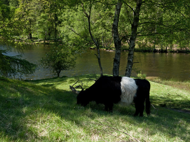 Beltie by the Tarns - geograph.org.uk - 1338340