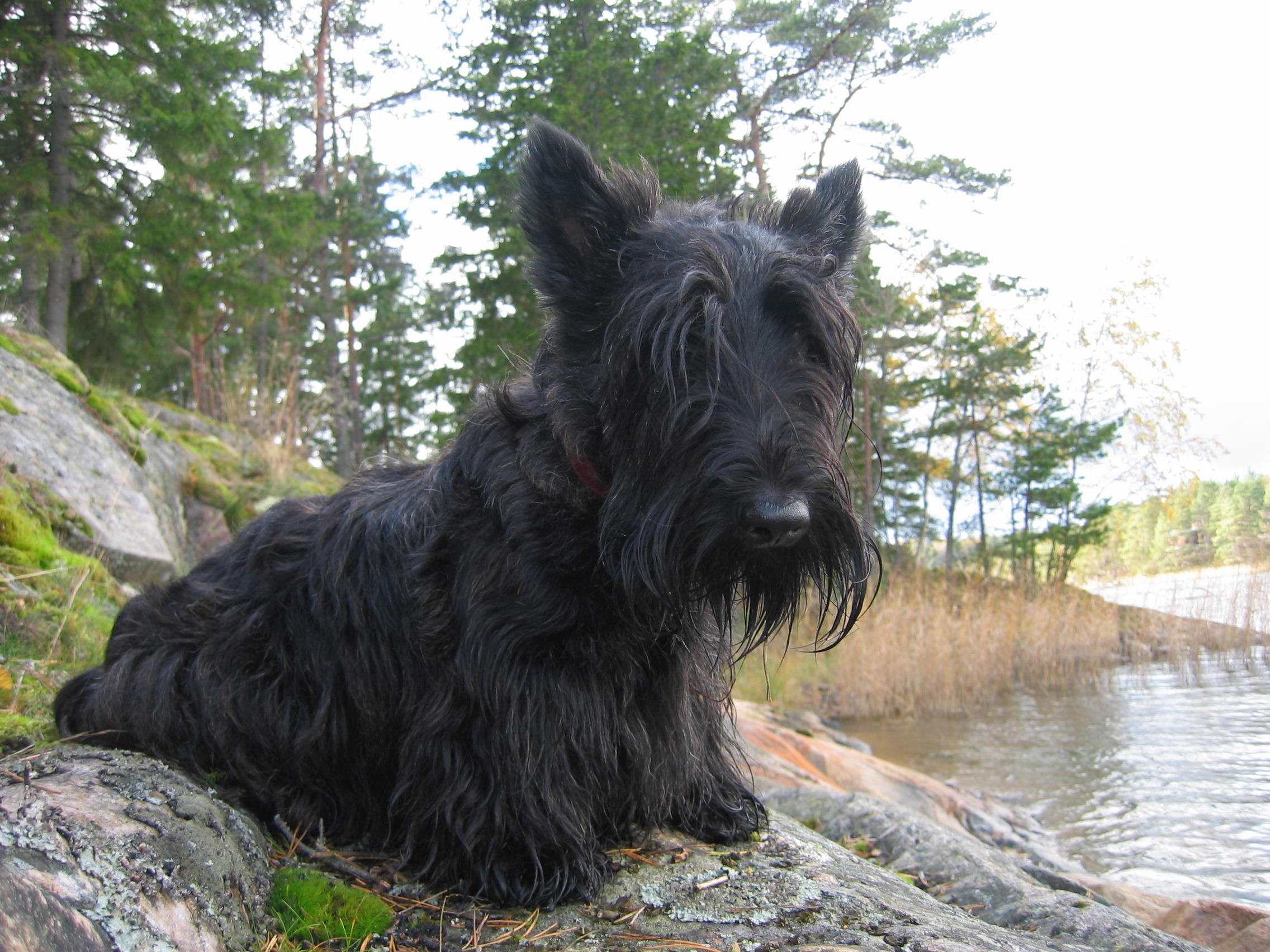 Black Russian Dog Breed