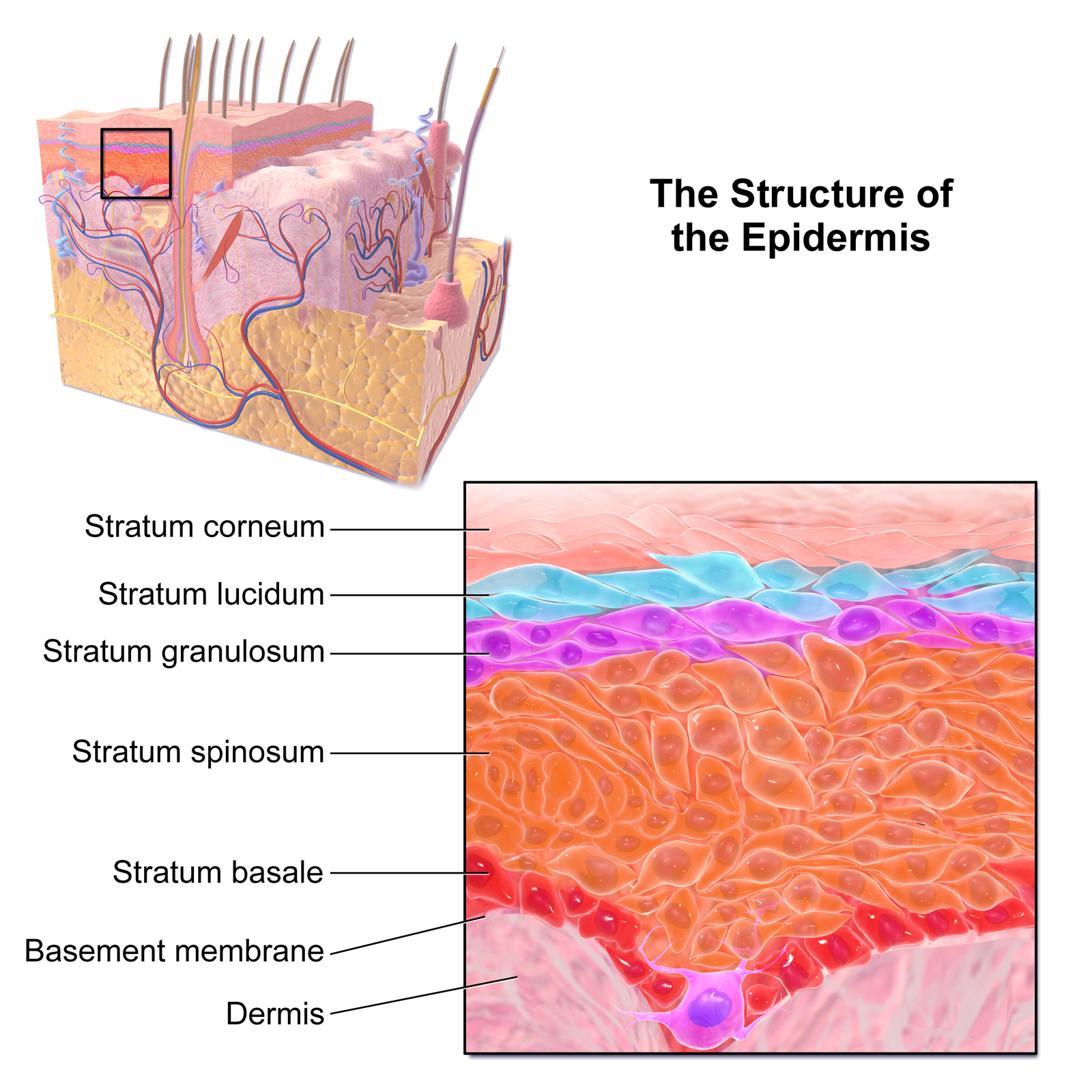 Integumentary System Flashcards Easy Notecards
