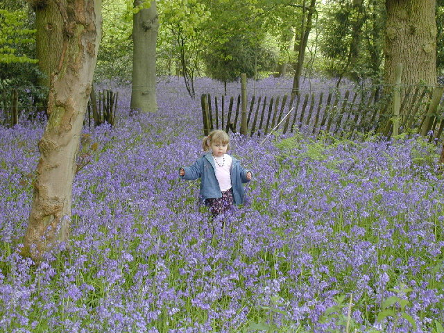 Bluebell Wood at Chiltern Open Air Museum - geograph.org.uk - 7563