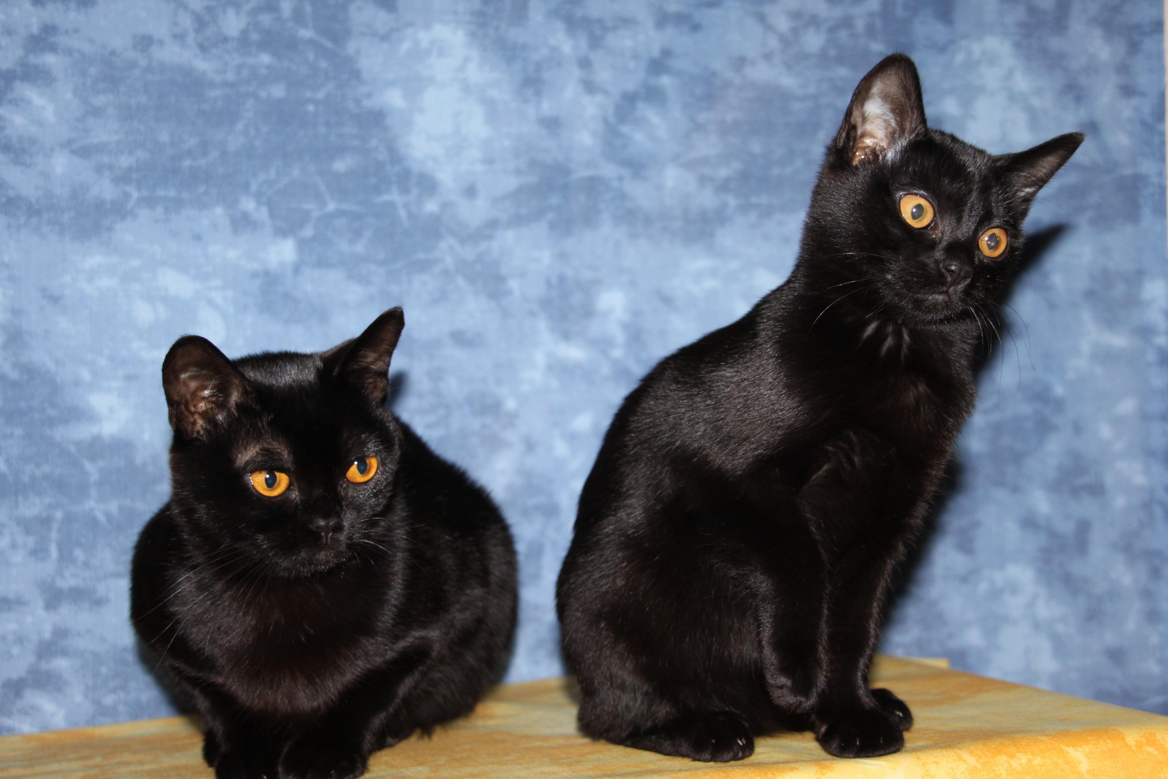 Bombay Katze Züchter