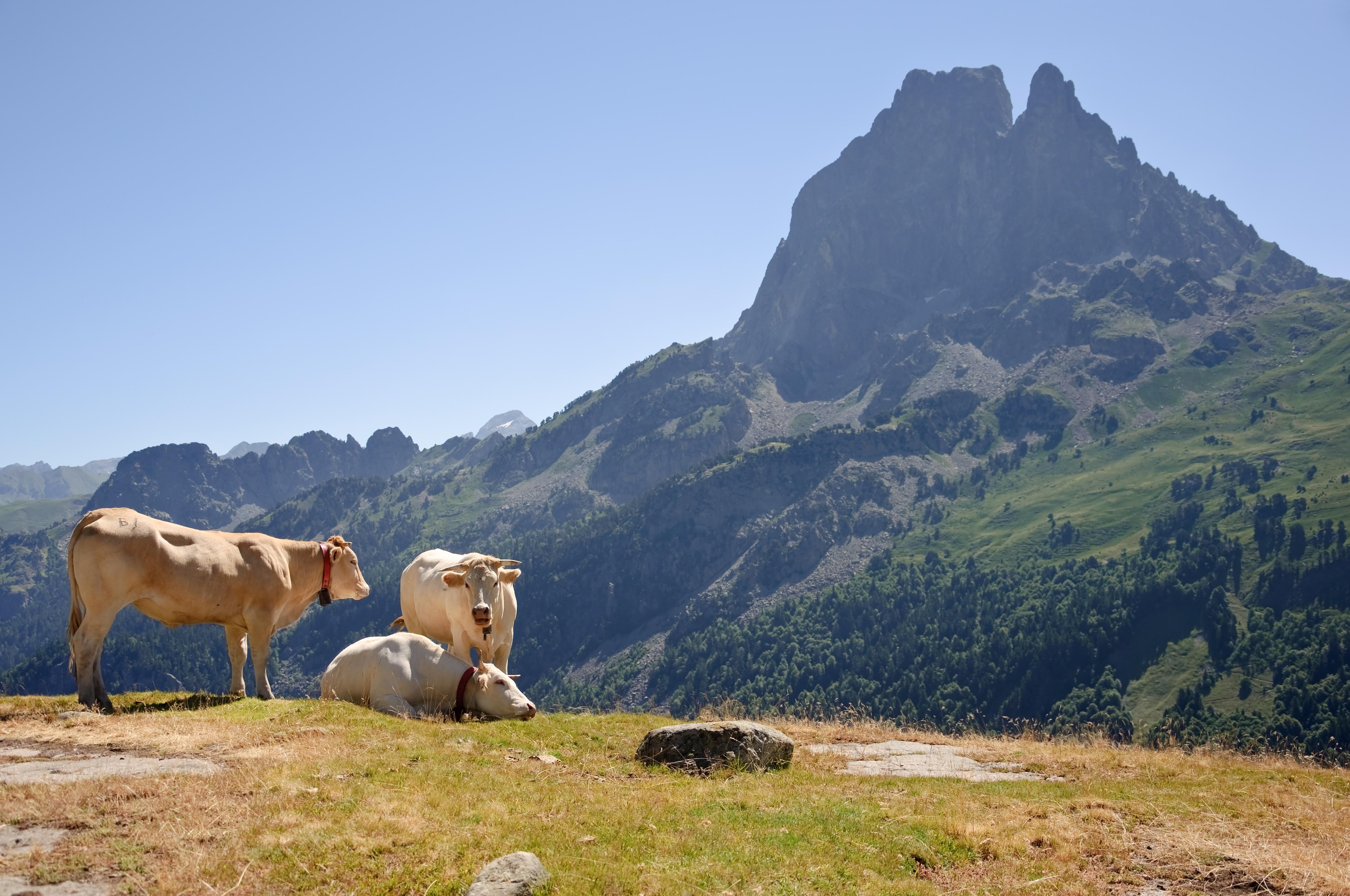Http Commons Wikimedia Org Wiki File Bovins Estive Pic Du Midi Ossau Jpg