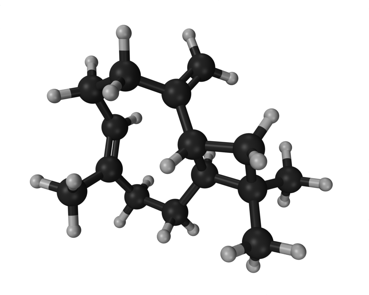 Ball and stick model of the molecular structure of beta-caryophellene.