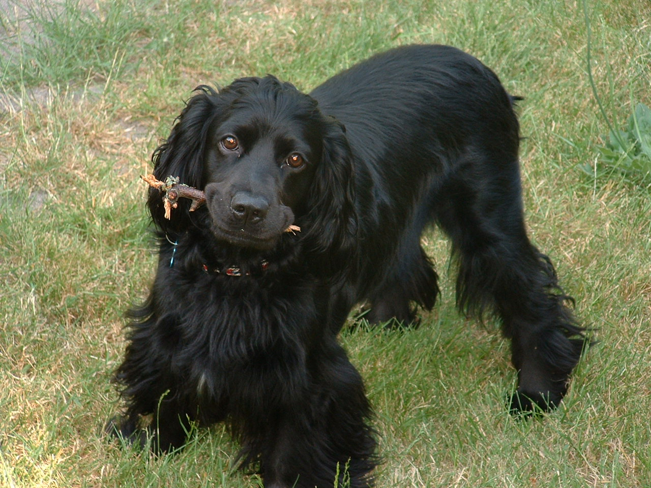 Dog Breed Cocker Spaniel Price