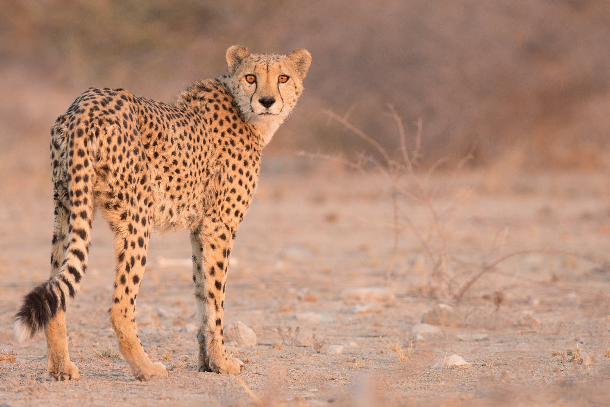 Cheetah photo by Ken Blum, imported from 500px