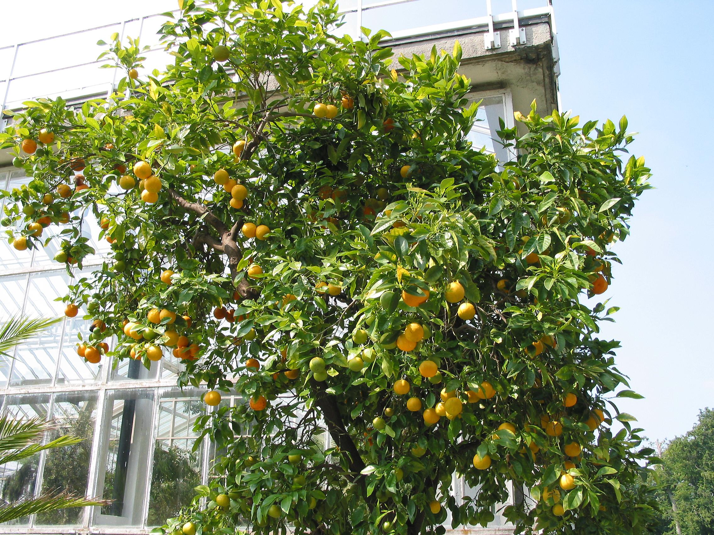 Citrus Sinensis Distribution File:citrus Sinensis Jpg01.jpg