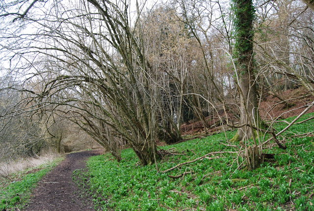 Coppiced trees by the Hangers Way - geograph.org.uk - 1200249