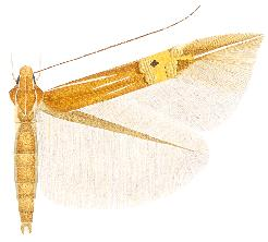 <i>Cosmopterix scirpicola</i>