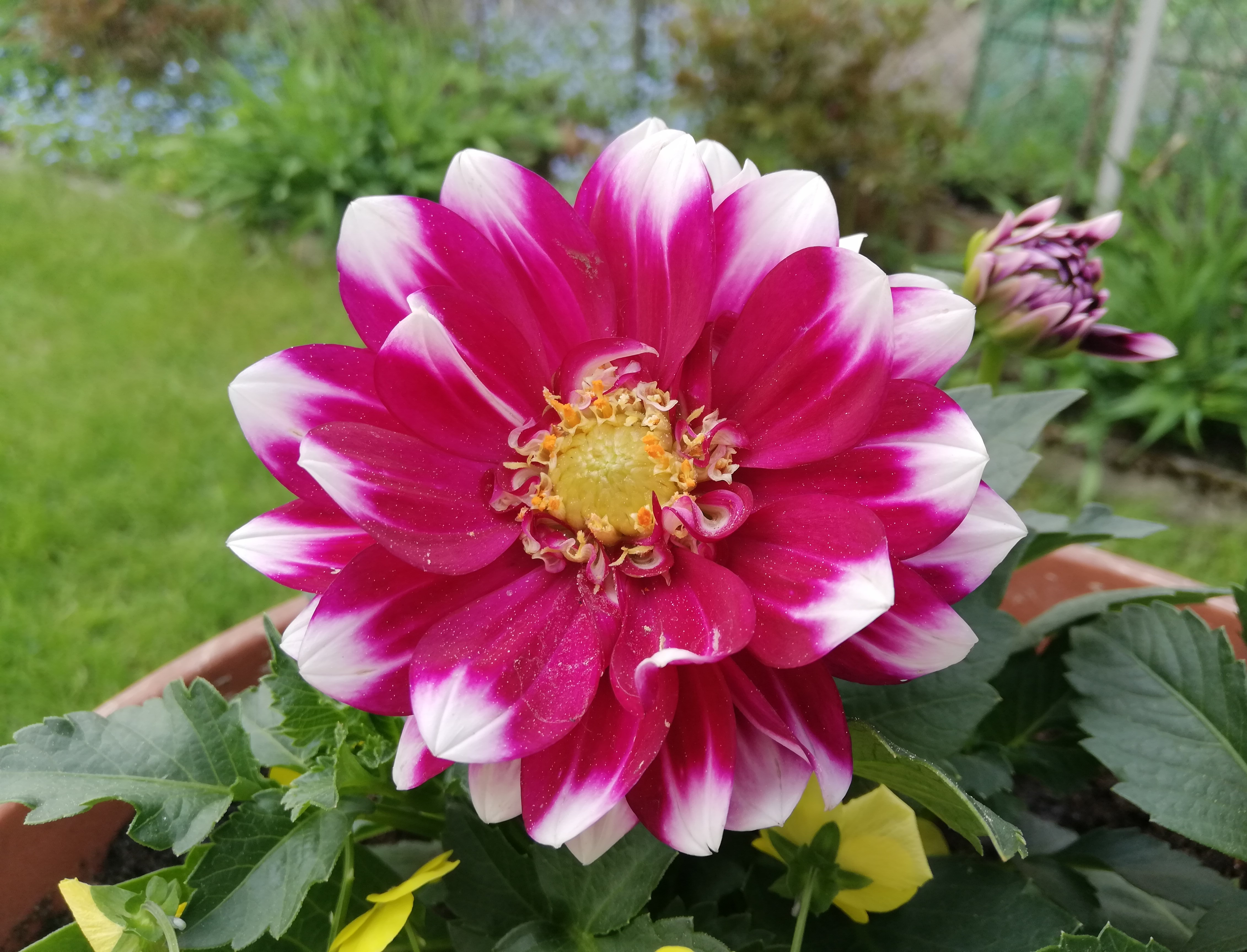 Dahlia Pinnata Wikipedia As a gift, dahlia flower expresses sentiments of dignity and elegancy. https en wikipedia org wiki dahlia pinnata