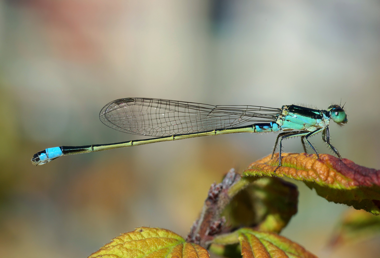 Dragonfly Wikipedia