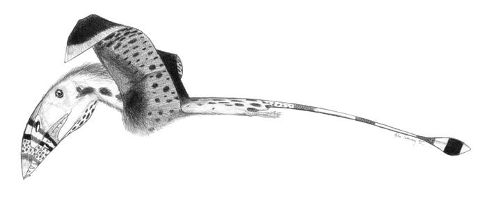 Dimorphodon-macronyx jconway.jpg