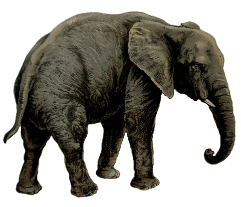 Elephant white background.png