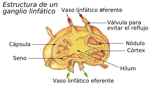 El sistema linfático – Blología