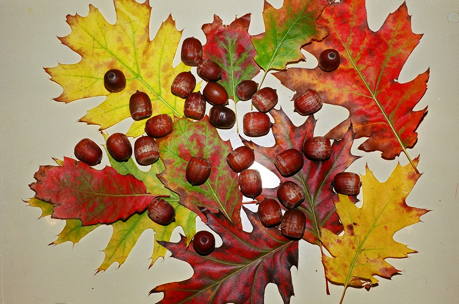 http://upload.wikimedia.org/wikipedia/commons/6/68/Fall_leaves_and_acorns.jpg