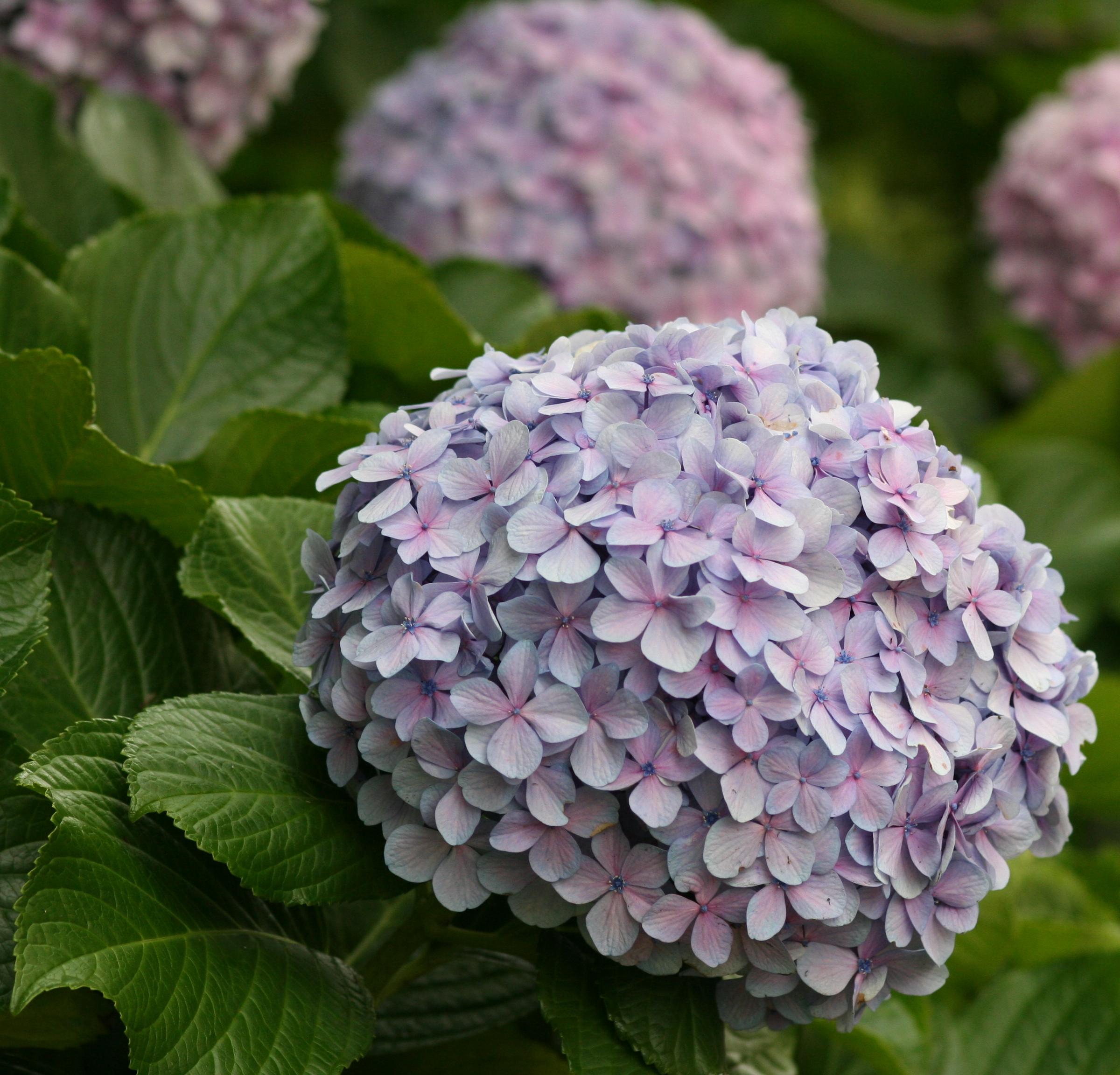 File Flower hydrangea 2